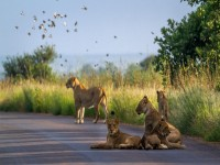 African lion in Kruger national park South Africa