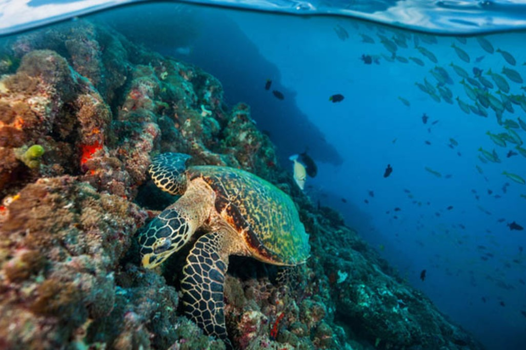 Turtle on a coral reef under water