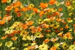 Orange and yellow wild flowers in Namaqualand in South Africa shutterstock 600752480
